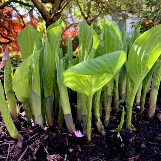Sauteed Spring Hosta Shoots Recipe